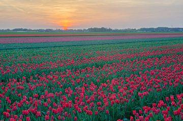 Tulpen in Drenthe van Rene Mensen