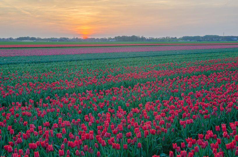 Tulpen in Drenthe von Rene Mensen