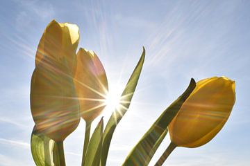 Gelbe Tulpen in der Sonne von Daphne van der straaten