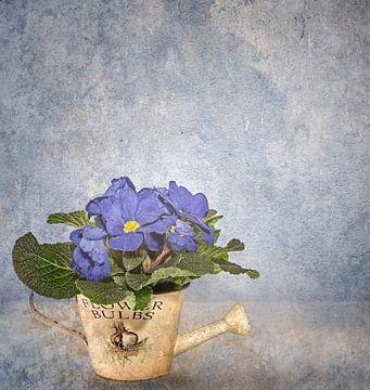 Blaue Primel van