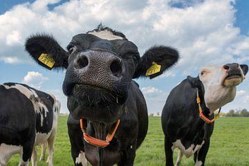 Nieuwsgierige koe von Yvonne van Driel