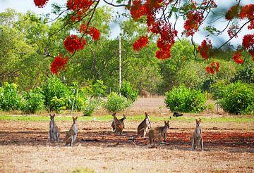 Wallabies in Australie, Noordelijk Territorium van Liefde voor Reizen