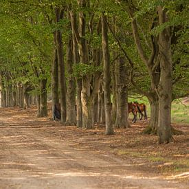Wilde paarden en beukenbomen op natuurterrein Planken Wambuis van Eric Wander