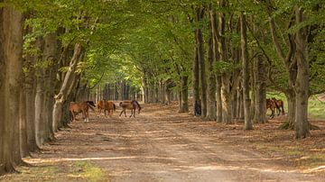 Wilde paarden en beukenbomen op natuurterrein Planken Wambuis
