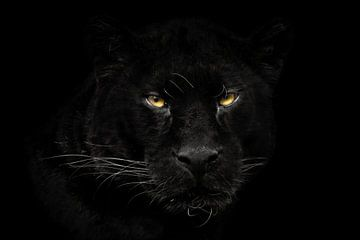 Schwarzer Panther Nahaufnahme von gea strucks