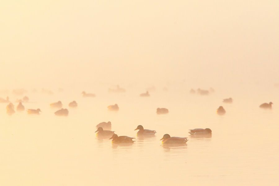 Eenden in de mist van Arjan van Duijvenboden
