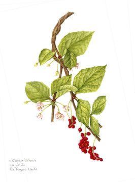Peperbes, Schisandra chinensis van Ria Trompert- Nauta