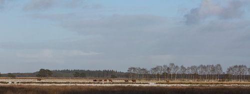 Schotse Hooglanders op het Doldersumse veld
