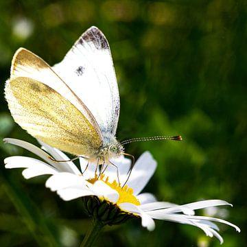 Mooie vlinder op een madeliefje van Elke Holinski