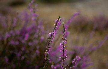 Heide in bloei van Thomas Wapenaar