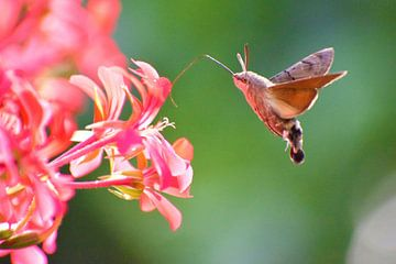 Kolibrievlinder sur Maura Terpstra
