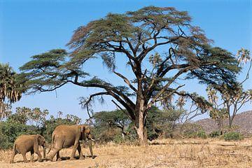 Savanneolifant (Loxodonta africana) moeder en kalf lopend door het Samburu National Reserve van