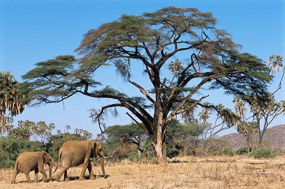 Savanneolifant (Loxodonta africana) moeder en kalf lopend door het Samburu National Reserve van Nature in Stock