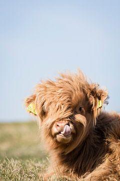 Schotse Hooglander peutert in zijn neus van Mascha Looije