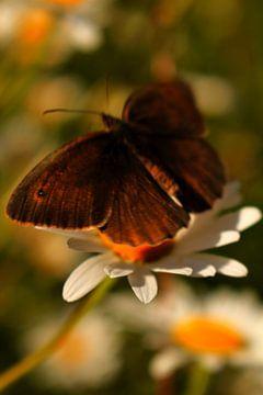 Vlinder bezoekt margriet van
