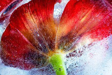 Bevroren tulp