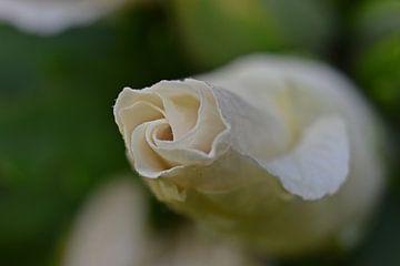 Nahaufnahme einer weißen Blume von Daphne van der straaten
