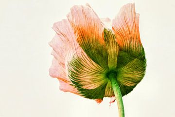 oriental poppy sur Yvonne Blokland