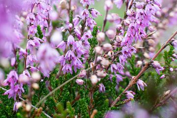 Violette Blumen von Yannick uit den Boogaard