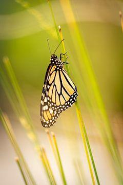 Vlinder aan grasstengel van Lieke van Grinsven van Aarle