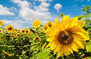 Zonnebloemen van Marianne Rouwendal