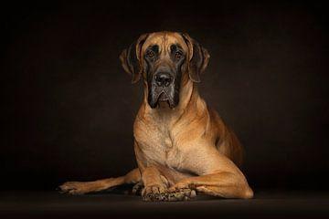Deutsche Dogge (Hunde) von Patrick Reymer