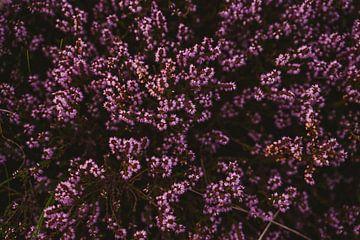 Heidebloemen in zacht avondlicht van Van Kelly's Hand