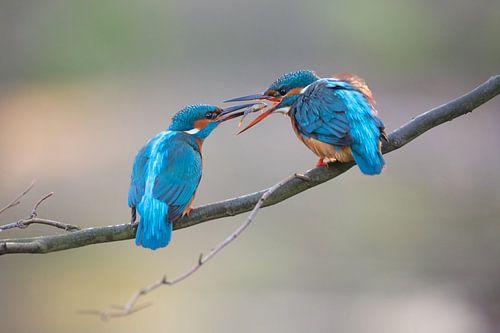 IJsvogel - Prille liefde