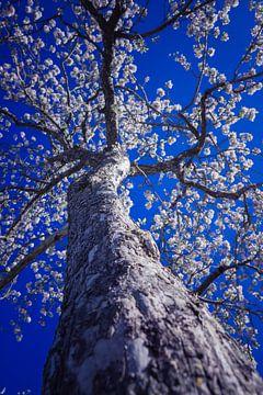 Weißer Baum von Alexander Dorn