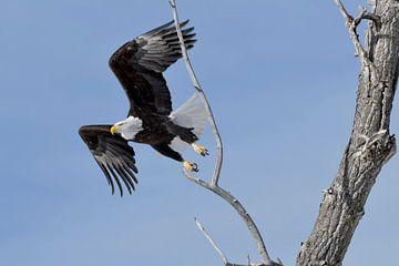 Bald Eagle ( Haliaeetus leucocephalus ), taking off from a cottonwood tree, Yellowstone van
