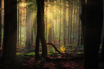 Wald mit ersten Lichtstrahlen von Björn van den Berg
