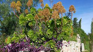 Bloeiende vetplant op een stenen muurtje aan de Costa Blanca