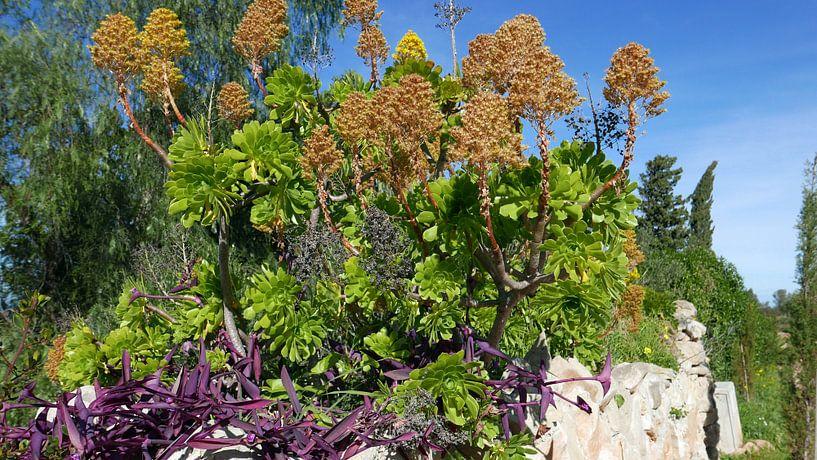 Bloeiende vetplant op een stenen muurtje aan de Costa Blanca van Gert Bunt