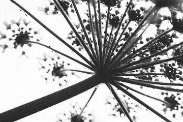 Abstrakt Heracleum schwarz und weiß von ElkeS Fotografie