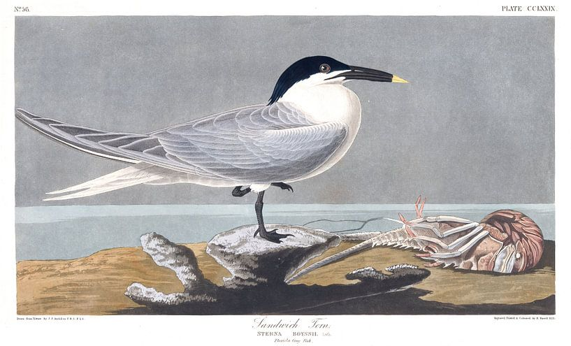 Grote Stern van Birds of America