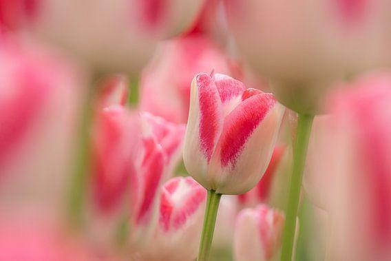 Tulp   wit -roze-Keukenhof