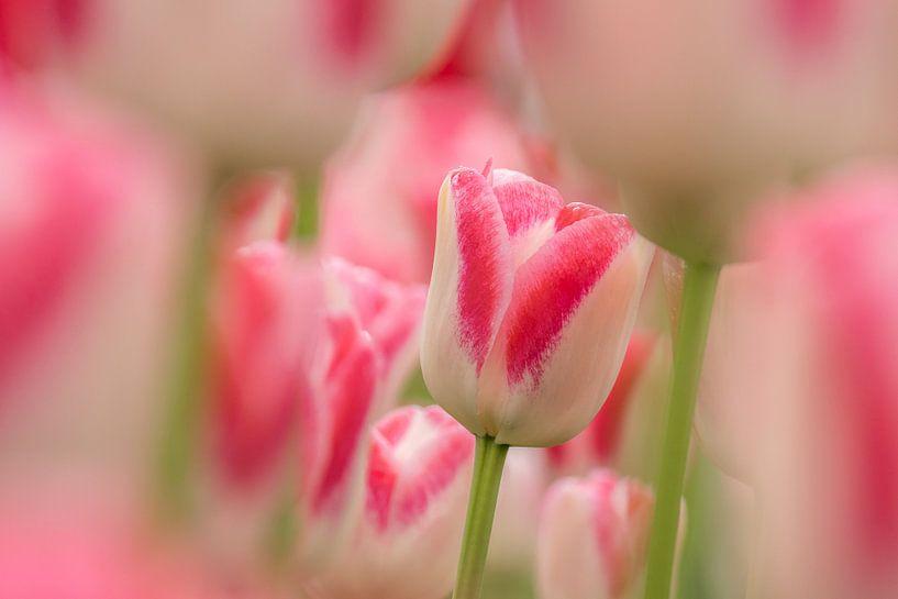 Tulp   wit -roze-Keukenhof van Marco Liberto