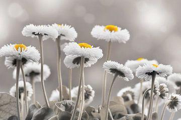 Gänseblümchen von Violetta Honkisz