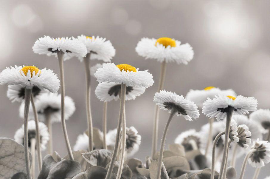 Gänseblümchen van Violetta Honkisz