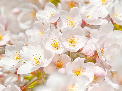 Sakura van