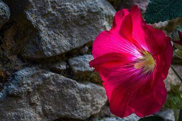 Zonnigebloem van Onno van Kuik