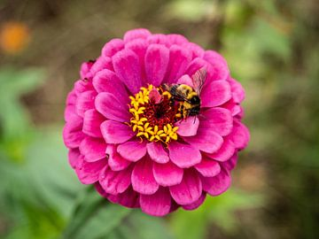 Bee - bij op roze bloem van Stijn Cleynhens