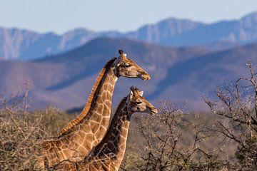 Giraffen mit schönen Bergen im Hintergrund Südafrika von John Stijnman