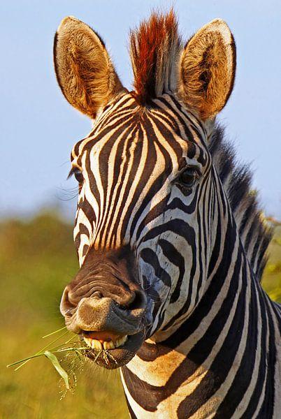 Zebra in Africa van W. Woyke