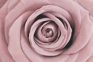 Rose mit trendiger zartrosa Farbe