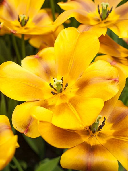 Show Tulip Yellow Brown van David Hanlon
