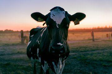 Koe in het weiland van Nathan Okkerse