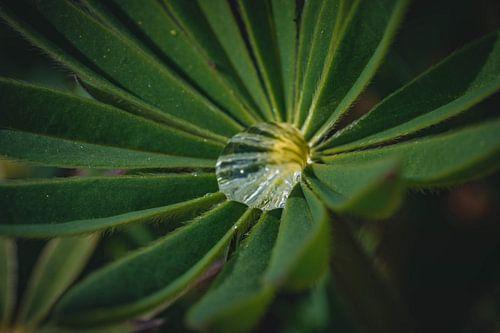 Lupine mit Regentropfen