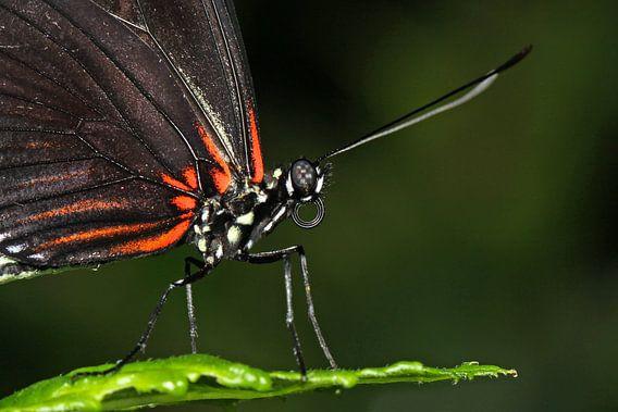 Passiebloem vlinder (Heliconius Doris)  van Antwan Janssen