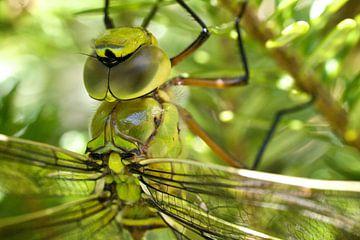 Libelle von Ties van Veelen